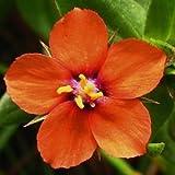 Semillas pimpinela escarlata de flores (Anagallis arvensis)