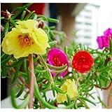 花の種子:梅雨植物の種子空気浄化ガーデン[ホームガーデンの種子エコパック]メキシコローズフラワー種子による植物の種子
