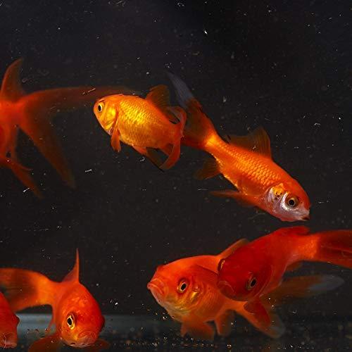 【観賞魚・金魚】 小赤 ■サイズ:3cm± ※エサ用として (200匹)