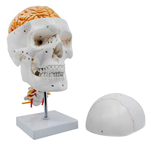 Numbered Skull Model, with 3D Brain - Sutures & Cervical Vertebrae - Natural Color & Size - Mounted on Stand - Eisco Labs