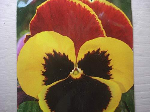 Gigante Russo Pansy Semi Rosso & Giallo Fiore Fino a 6 cm