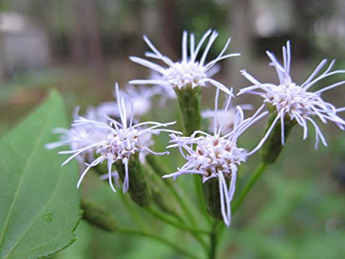 PLAT FIRM KEIM SEEDS: Traumkraut-Samen-Hülsen sehr selten (Calea Zacatechichi) 500+ Frische Heirloomsamen
