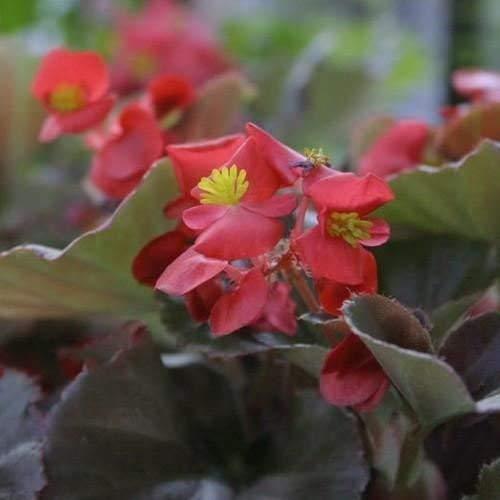 Begonia Cocktail Wodka Blumensamen (Begonia X Semperflorens-Cultorum) 50 + Seeds