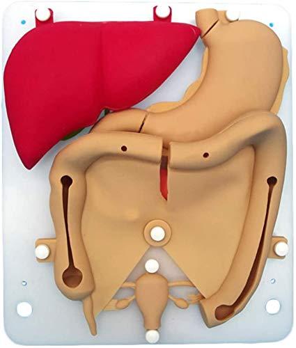 BBYYT Maniquí Modelo de enseñanza Cirugía laparoscópica Entrenamiento de simulación Modelo Órgano de Silicona anatómico Modelo para Médico Estudiantes Práctica