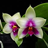 TankMR Semer des Graines D'orchidée De Couleur Mélangée 150Pcs, Open-pollinisé, Abeilles, Colibris, Papillons, Pollinisateurs, Décor De Jardin De Bureau Graines d'orchidée