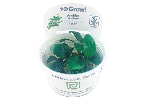 Anubias barteri nana - In-Vitro - Plantas para acuarios