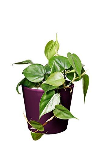 EVRGREEN | Zimmerpflanze Baumfreund in Hydrokultur mit violettem Topf als Set | Philodendron scandens