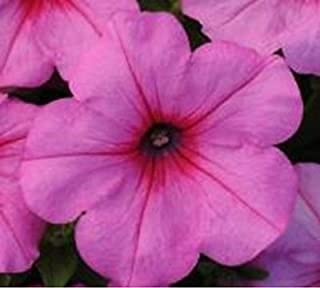 ~ Easy Wave PINK PASSION NEW Trailing Petunia 20 Pelleted Seeds