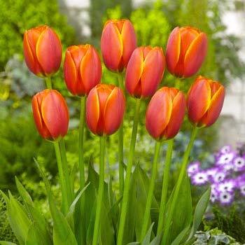 BULBi® Holland - Tulpenzwiebeln WORLD FAVOURITE - Farbe: Rot/Gelb | 25x Zwiebeln | Auf Amazon Lager | Darwin-Hybride Tulpen sind starke Tulpen mit langen, robusten Stielen und einer langen Blütezeit.