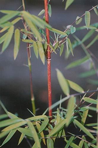 Fargesia nitida (species) Jiuzhaigou® - Jade-Bambus Jiuzhaigou Preis nach Größe 100-120 cm