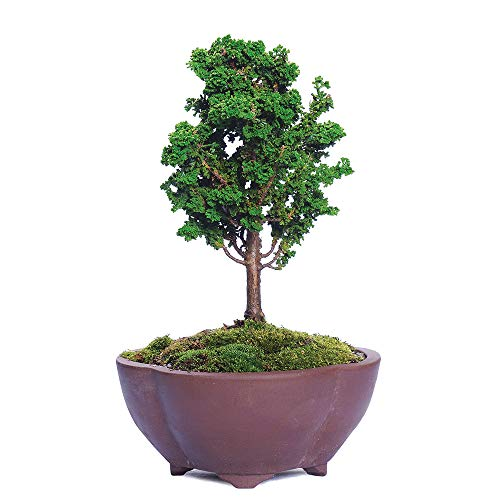Brussel's Bonsai Live Dwarf Hinoki Cypress 'Sekka' Outdoor Bonsai Tree-4 Years Old 6' to 10' Tall with Decorative Container, Small