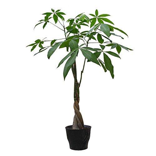 5Pcs / pack Braid Pachira Big Money Tree Graines Bonsaï Graines Indoor plantes ornementales SeedsAndPlants Jardin Décoration Miniascape Graines