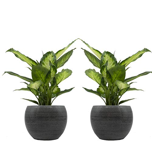 Dieffenbachia-Duo mit handgefertigtem Keramik-Blumentopf