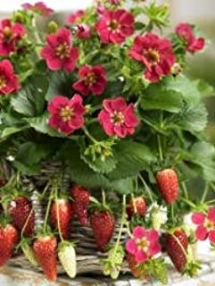 Best tristan strawberry seeds Reviews