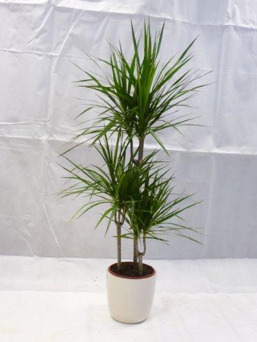 [Palmenlager] - Dracaena marginata 160 cm - Drachenbaum 3er Tuff - // Zimmerpflanze