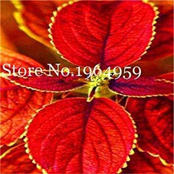 Potseed . New 100 Pcs Arc-en-Mix Coleus, Style Russe Herbe Fleur Plante Accueil Cour Balcon Arbre Begonia Décor: f