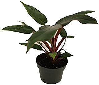 1 Live Plant Philodendron Congo Rojo Red 4'' Great for Houseplant Very Rare