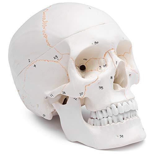 Cranstein Scientific A-211 - Cráneo anatómico (3 piezas, numerado, color hueso)