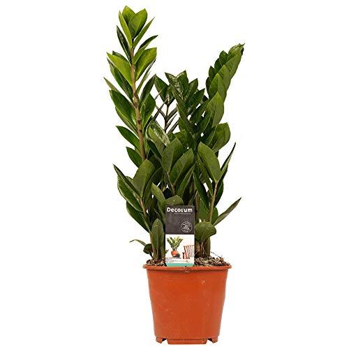 Hellogreen Zimmerpflanze - Zamioculcas -...