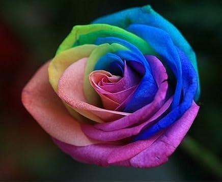 Amazon com: Candy Spice Rose Bush Flower Seeds 10