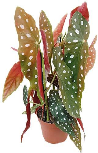 Fangblatt - Begonia maculata