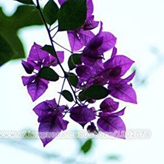 100pcs / bag ,Bougainvillea seeds, potted seeds, flower seeds, variety complete, the budding rate 95%, (Mixed colors)