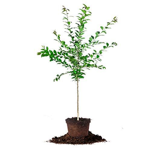 Plum Tree