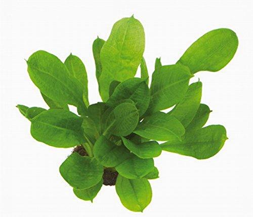 WFW wasserflora Samolus Schwertpflanze/Echinodorus pariflorus Tropica im Topf