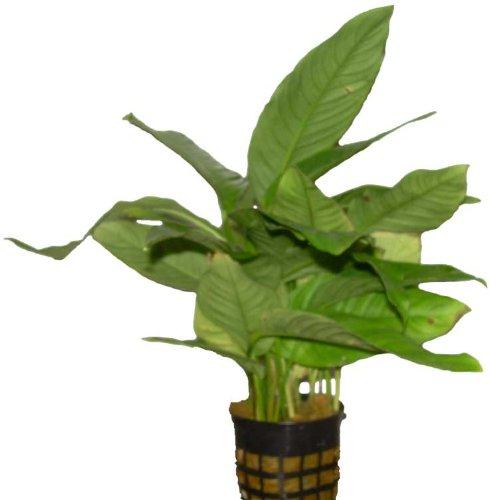 Aquariumpflanzen Anubia Mutterpflanze, Wasserpflanzen