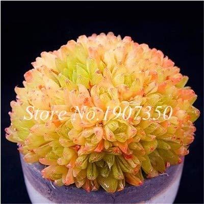 Shopmeeko Graines: Bonsai Nouvellement 50 Pcs Rare Bonsai Yu Lu Succulent jardin en vrac organique Pseudotruncatella Living Stone Lithops ornement plante: 14