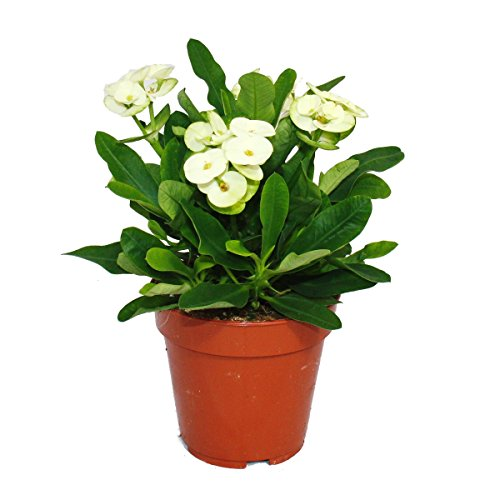 Exotenherz - Weiss-blühender Christusdorn - Euphorbia millii - 12cm Topf