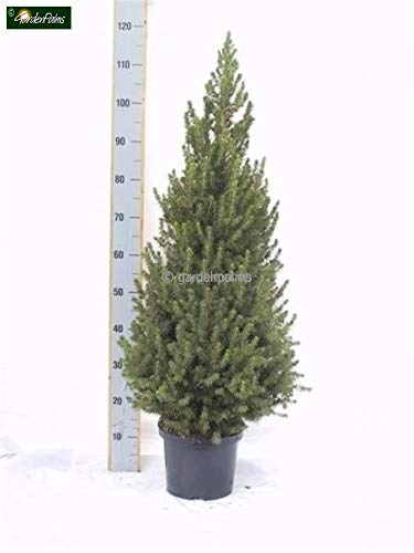 Weihnachtsbaum - Weißfichte - Picea glauca Conica - verschiedene Größen (110+cm - Topf 7,5Ltr.)