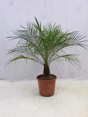 [Palmenlager] Phoenix roebelenii - Zwergdattelpalme 110/130 cm - Stamm 10/20 cm // Indoor- und Outdoorpalme
