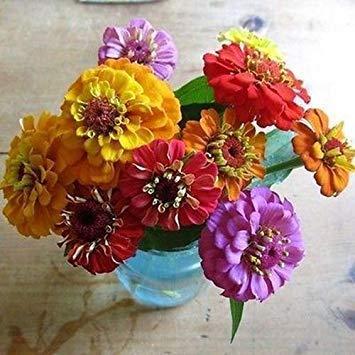 Zinnia Lilliput Mix Blumensamen (Zinnia Elegans) 50 + Samen
