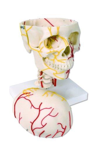 3B Scientific W19018 Neurovascular Human Skull Model