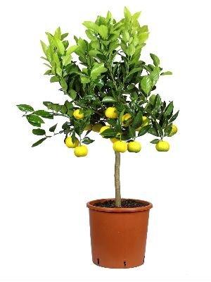 Meine Orangerie Römische Limette Mezzo - 70 bis 90 cm - Süßlimette - Pursha-Limette - echter Zitrusbaum - Lime Tree - Citrus limetta 'Pursha' - süße römische Limette in Gärtnerqualität