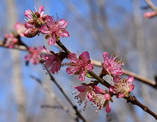 Rotlaubiger Wildpfirsich Prunus persica 'Rubira' Pflanze 25-30cm Blut-Pfirsich