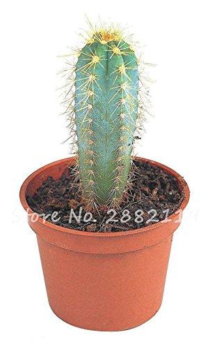 Géant à long Cactus Graines résistant à la chaleur extérieure Succulent Plante en pot Purifier Air Bonsai Pour la maison de jardin sur la radioprotection 80 Pcs 10