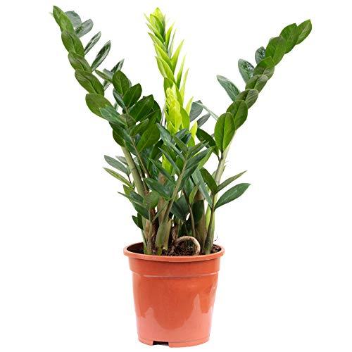 Glücksfeder - Zamioculcas zamiifolia 3+ - Höhe ca. 55 cm, Topf-Ø 17 cm