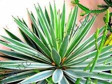 Rare Agave angustifolia panaché Exotique Succulent Cactus Graine Plante 100 graines
