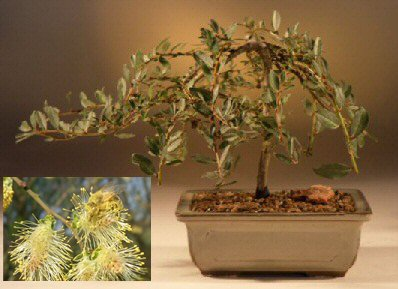 Flame Willow Bonsai Tree - Thick Trunk Cutting, Willow Rootstock to Grow - Mature Bonsai Fast - Old Mature Look Fast - Ships from Iowa, USA