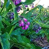 Beautytalk Jardin-Graines de consoude Plantes herbacées Graines de consoude Graines de fleurs de Wisley Blue Fleurs vivaces résistantes aux abeilles