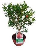 Granado Mini Punica Granatum Árbol Frutal en Maceta de 20cm Planta Natural