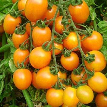 VISA STORE 100pcs Rare Tomate sät Bonsai Bio-Gemüse und Obst Pflanzensamen, Topf Samen für Heim & Garten Gewächshaus Ernte: 3