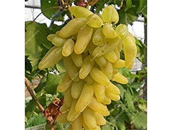 VISTARIC 2: Bonsai Lemon Tree Seed 50 Pcs/paquet Citrus limon Graines Fruit Jardin Terrasse verger à graines Ferme Citron Potted semences pour jardin 2