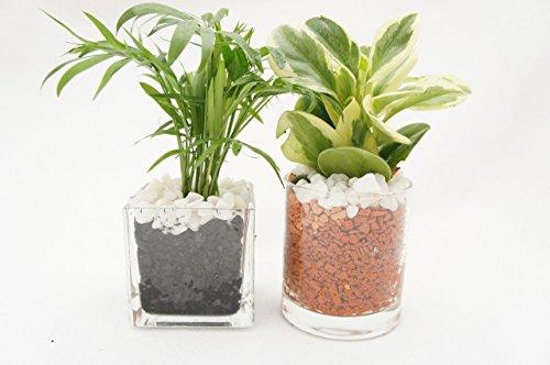【お得な二個セット プレゼントにお部屋のインテリアに】 ハイドロカルチャー 観葉植物 炭&茶瓦 二個セット 角7.5&サークル80 土を使っていないから害虫が発生せず衛生的!お世話も簡単です。