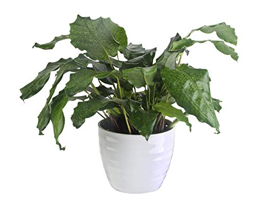 Costa Farms Calathea Network Trending Tropicals Collection Live Indoor Plant,...