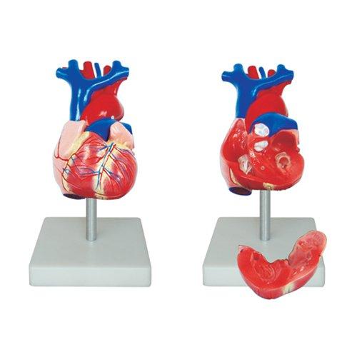66FIT - Modelo anatómico de corazón (tamaño Real)
