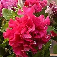 庭のペチュニアの花びらの花の種(100種子)庭のペチュニアSemillas De Petunias A4