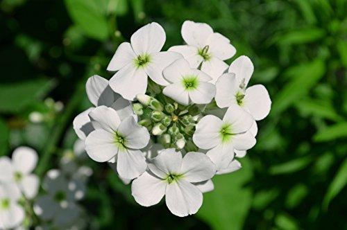 Nachtviole, weiß blühend Hesperis matronalis 100 Samen
